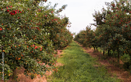 Ripe cherry orchard field