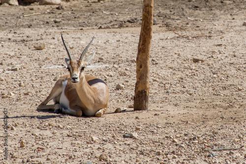 Foto op Plexiglas Antilope African antelope