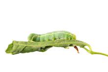 Green Caterpillar Of Orthosia ...