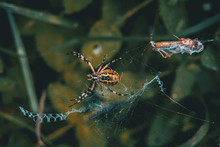 Web Spider Eating Its Food