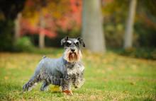 Miniature Schnauzer Dog Outdoor Portrait Standing In Grass