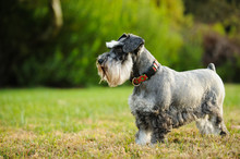 Miniature Schnauzer Dog Outdoor Portrait Standing In Grass