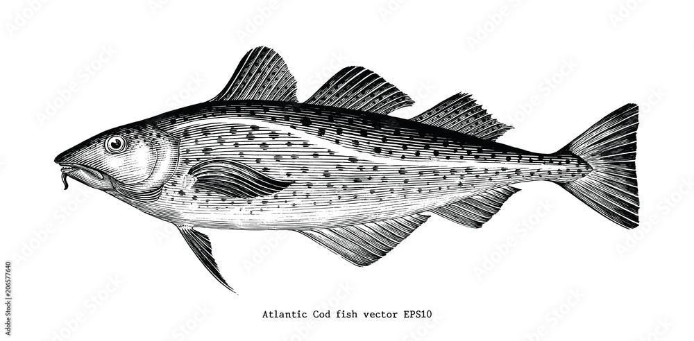 Fototapeta Atlantic Cod fish hand drawing vintage engraving illustration