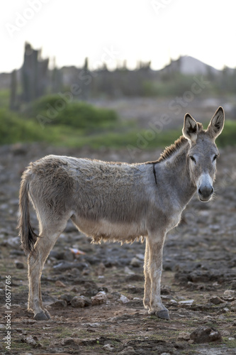Donkey on island Bonair
