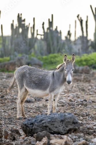 Poster Ezel Donkey on island Bonair