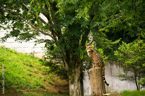 Cheetah in woods