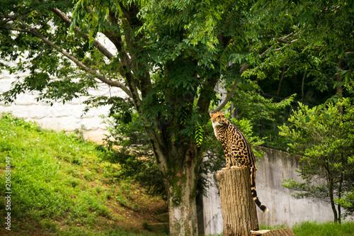 Cheetah in woods