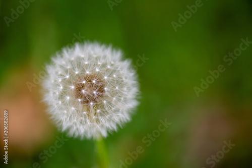 Photo  Puffy seeded dandelion bloom