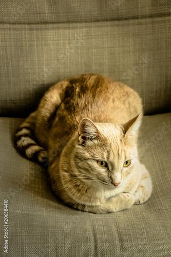 Fotografie, Obraz  Очаровательный солнечный кот отдыхает в кресле