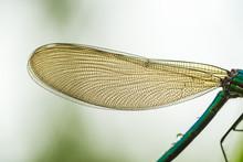 Macro Shooting. Green Dragonfly. Wing