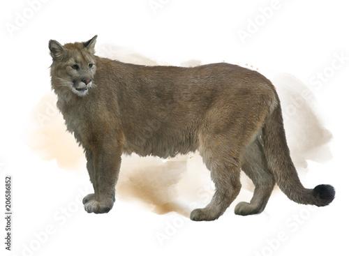 Ingelijste posters Puma Florida panther or cougar watercolor