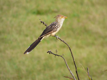 Guira Cuckoo On A Branch In Na...