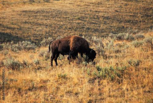 Foto op Aluminium Bison American bison in Yellowstone NP, USA