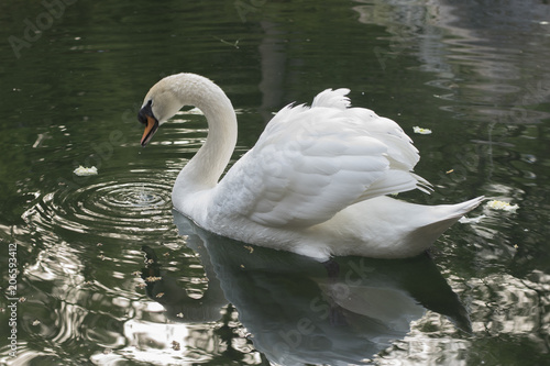 Foto op Aluminium Zwaan swan on the lake with reflection