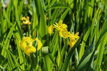 Close Up Of Yellow Flag, Yellow Iris Or Water Flag (Iris Pseudacorus) Flower Blooming In Spring