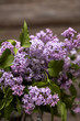 Lilac flowers closeup./Violet lilac flowers close up. Spring bouquet of lilacs.
