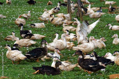 Élevage de canards