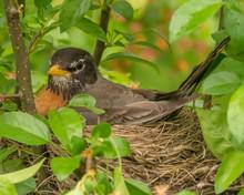 Female Robin Sitting On Blue E...
