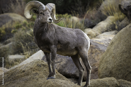 Bighorn Sheep Ram in Joshua Tree National Park Wallpaper Mural