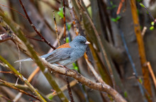 A Gray Headed Dark-eyed Junco Perched On A Branch