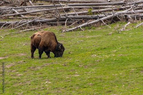 Foto op Aluminium Bison Bison Grazing in a Meadow in Yellostone National Park