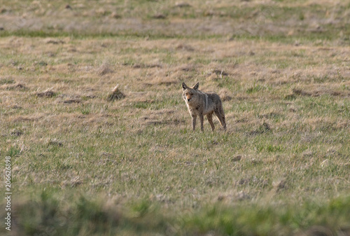 A Coyote Scavenging for Food in a Field Poster