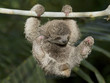 Baby Three Toed Sloth Playing in Rainforest of Costa Rica