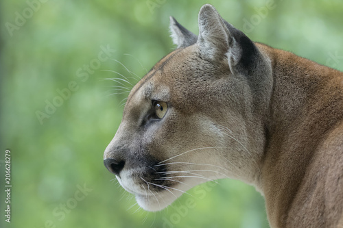 In de dag Puma Cougar / Mountain Lion watching prey