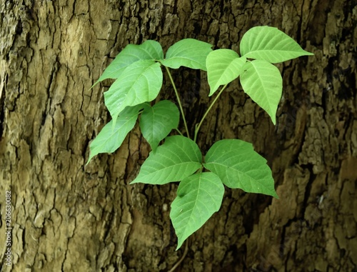 Fotografie, Obraz  Characteristic triple leaflets of a poison ivy vine on a sycamore tree trunk