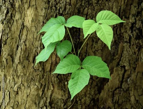 Obraz na plátně  Characteristic triple leaflets of a poison ivy vine on a sycamore tree trunk