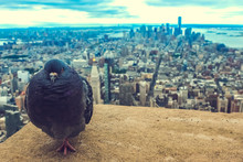 Pigeon At The Rooftop Of The Empire State Building (New York City), With A Nice View Of The Manhattan Skyline