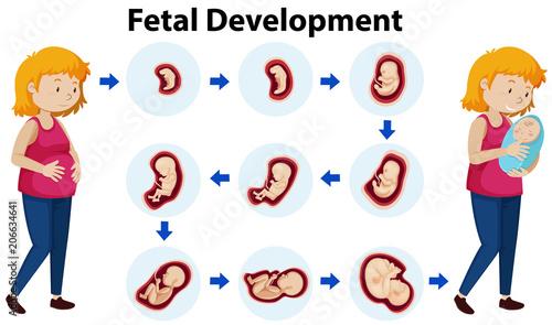 Obraz na plátně A Vector of Fetal Development