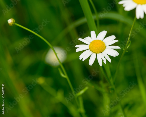Foto op Canvas Madeliefjes Daisy flower (bellis perennis) with green natural background ideal for greeting card, screen saver, cell phone screens. Selected focus, narrow depth of field