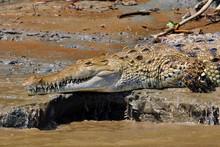 American Crocodile (Crocodylus Acutus) Laying On A Muddy River Bank Near Sierpe In Costa Rica