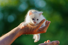 Small White Kitten Sits On His Hands Against A Background Of Green Foliage