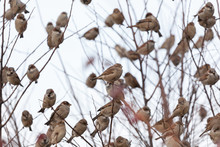 A Flock Of House Sparrows Sitting On A Branch