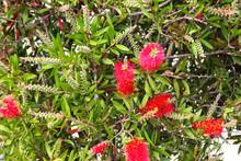 Red Bottlebrush Flowers (Calli...