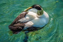 Growing Colonies Of Beautiful Eider Ducks, Normally Migratory Sea Birds Have Somehow Adjusted To A Sedentary Life In The Fresh Water Environment Of The Upper Zurich Lake (Obersee)