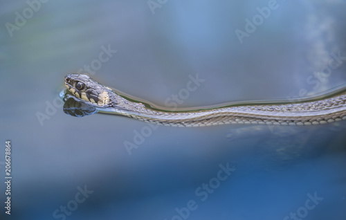 Plakat trawa węża Natrix natrix pływanie w stawie