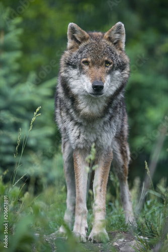 wolf in a forest - close up