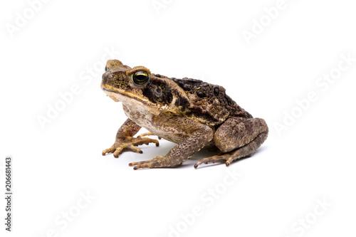 Staande foto Kikker giant marine toad (Rhinella marina)