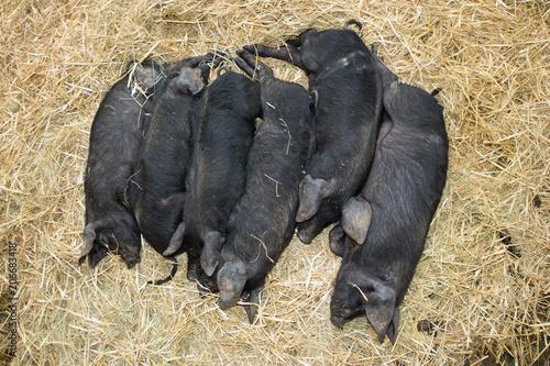 Cuadros en Lienzo some black piglet lying in group in straw floor in farm