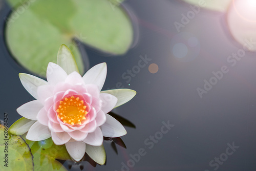 Spoed Foto op Canvas Natuur Beautiful lotus flower in pond,The symbol of the Buddha, Thailand.