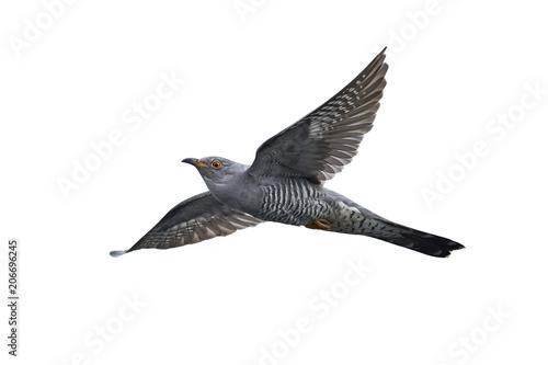 Common cuckoo (Cuculus cano...