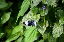 Sapho Longwing Butterfly