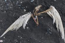 Dead Rotting Bird Carcass On Black Sand Beach