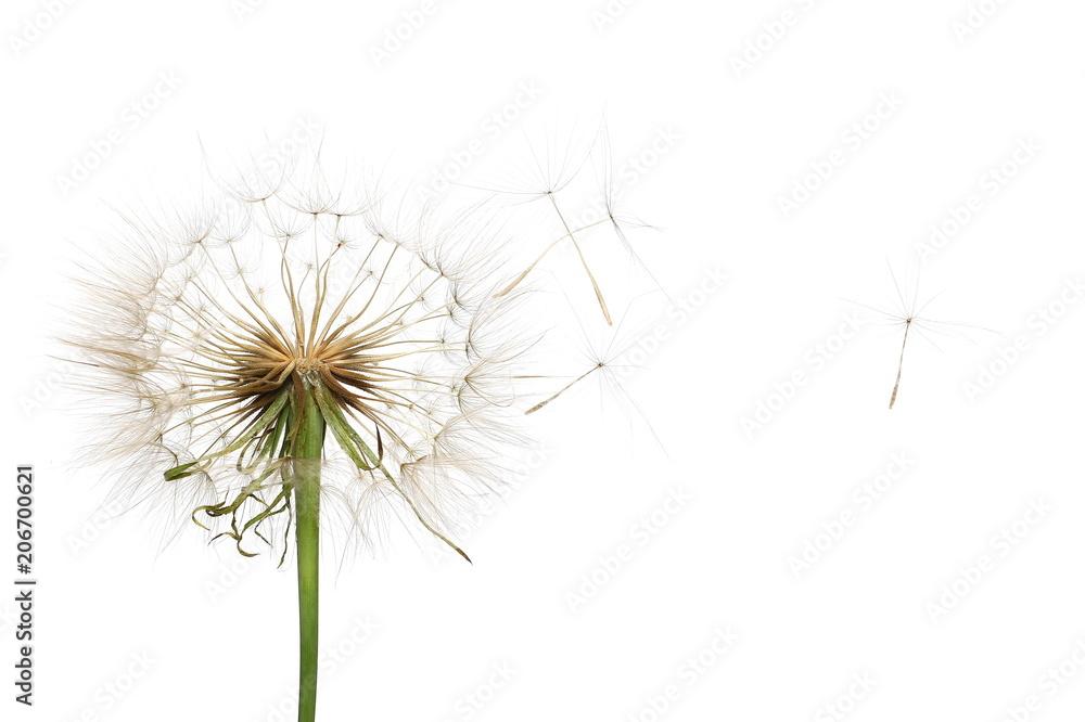 Fototapety, obrazy: Dandelion isolated on white background