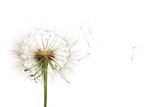 Fototapeta Dmuchawce - Dandelion isolated on white background