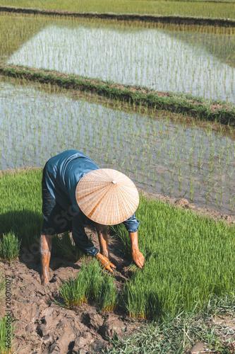 Foto op Plexiglas Asia land Vietnamese farmer planting rice