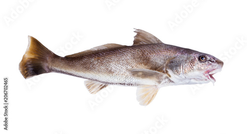 The Atlantic croaker (Micropogonias undulatus) is a species of marine ray-finned fish. Isolated on white background